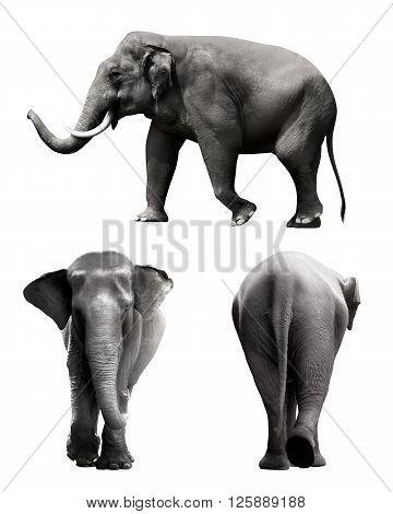 Set Of Sumatran Elephant Image