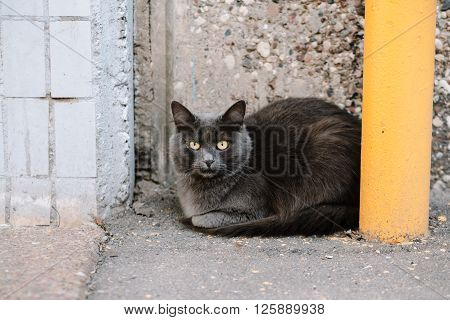 Stray grey angry cat with yellow eyes sitting at the house and looking at camera, copy space