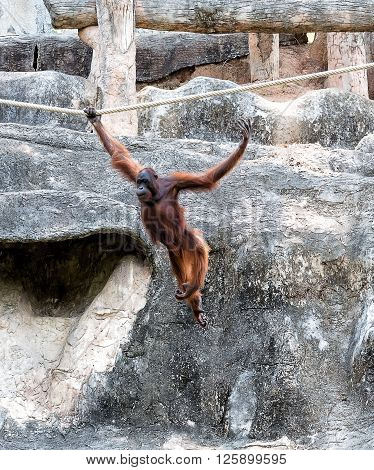 Orangutan is swinging on the rope with copy space