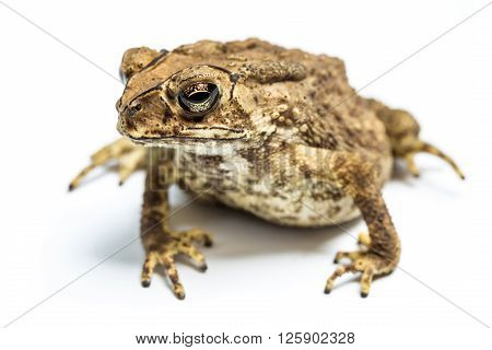 common toad crawling isolated on white background