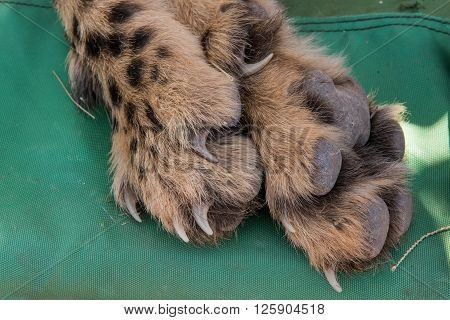 Cheetah Foot Closeup