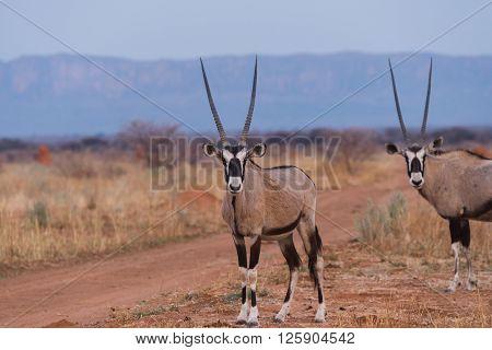 Oryx Standing Against Waterberg Plateau