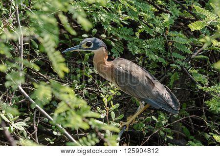 White-backed Night Heron During Day