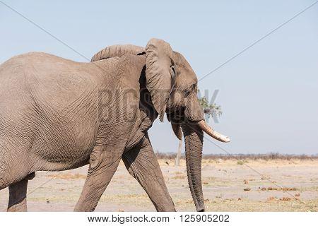 Male Elephant Botswana