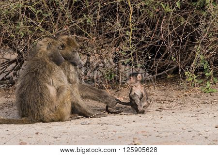 Baboon Family Time