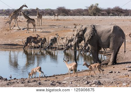 Etosha Waterhole Gathering