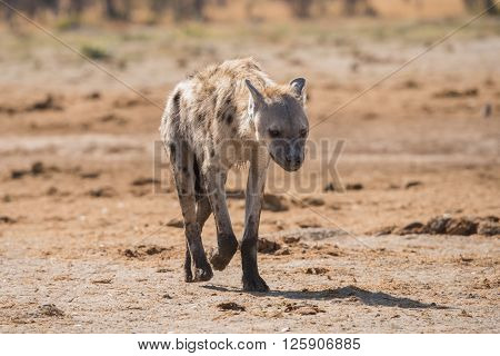 Young Spotted Hyena Portrait