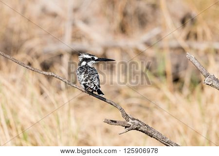 Pied Kingfisher In Reeds