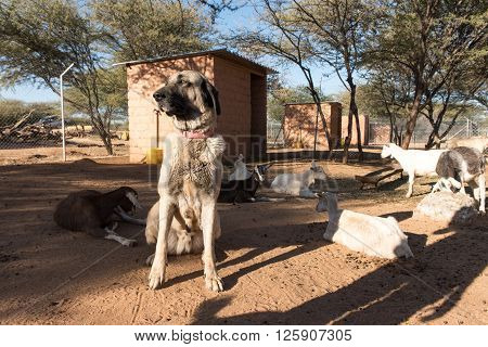 Guarding Dog In Corral With Goats