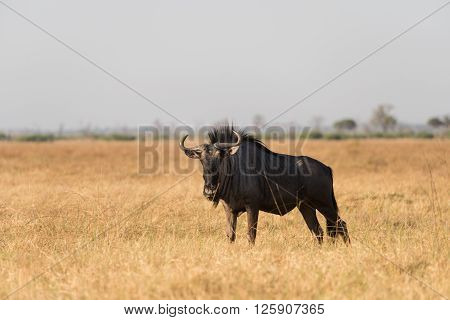 Blue Wildebeest In Dry Grass