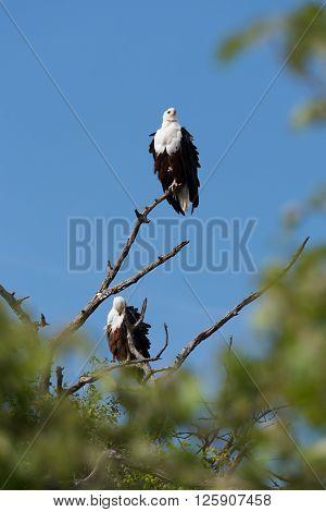 Fish Eagle Pair