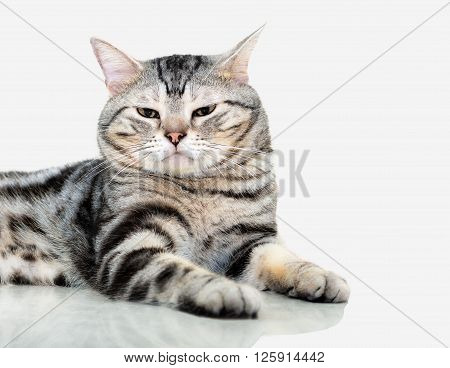 American Shorthair Cat Is Sitting And Looking Forward. Isolated On Grey Background With Copy Space
