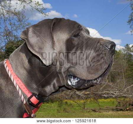 Purebred blue Great Dane on a grassy field with trees behind
