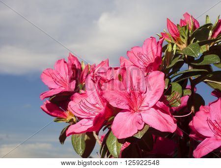 Bright azalea bush in bloom with the sky and clouds behind