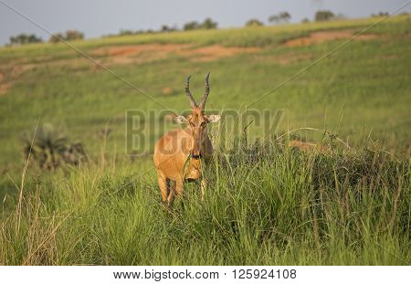 Lichtenstein's Hartebeest grazing in the African savanna at Murchison Falls National Park in Uganda, Africa