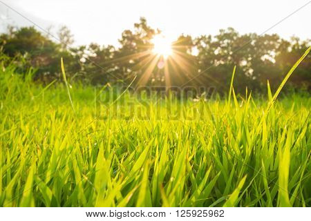 Green grass background natural texture sun beam
