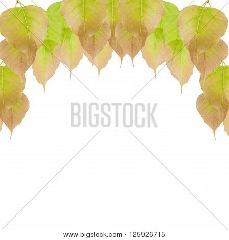 beautiful  leaves isolated on a white background