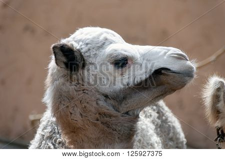 A shot of a cute baby dromedary