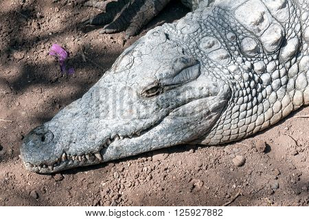 A shot of a crocodile in the land