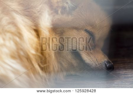 vintage style abstract animal backgroundclose up sleeping brown pomeranian