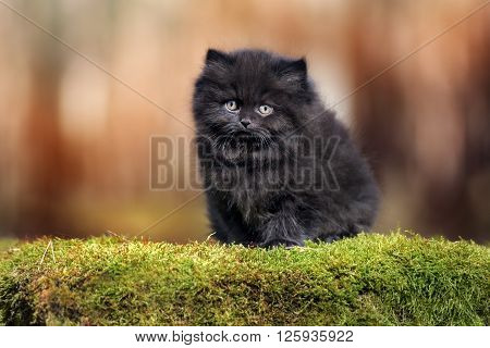 adorable british longhair kitten outdoors in summer