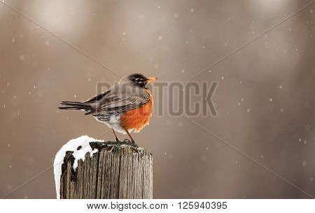 Robin in early springtime standing on fence post watching snow fall.