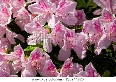 Large cluster of Pink flowering azalea bush
