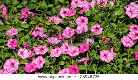 Beautiful Garden filled with pink petunia flowers