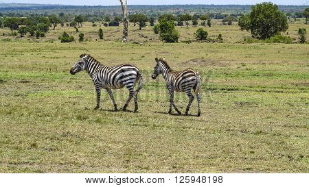 Africa. Kenia. zebra in Masai Mara National Park.