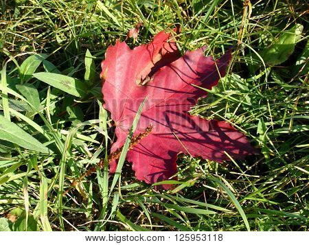 Leaf fall on green grass, autumn red maple leaf, macro