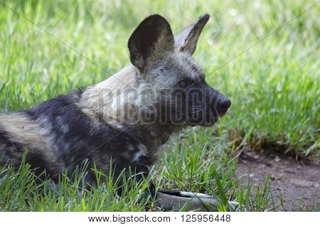 this is a close up of a African wild dog
