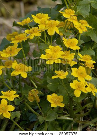 Marsh Marigold - Caltha palustris Mass of yellow Kingcups