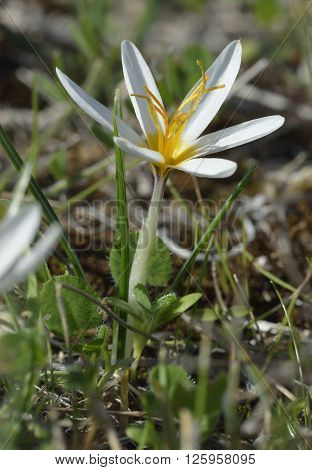 Aphrodite Crocus or Cyprus Crocus - Crocus veneris Endemic to Cyprus