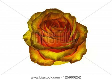 gold rose bud isolated on white background. clipart rose flower.