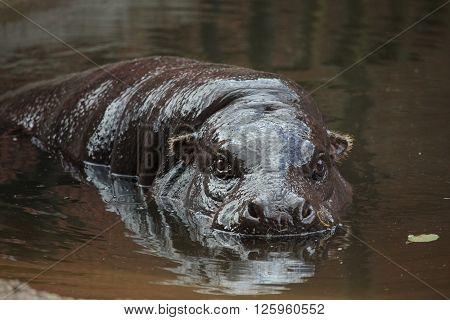 Pygmy Hippopotamus (choeropsis Liberiensis Or Hexaprotodon Liberiensis)