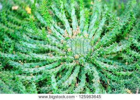Euphorbia caput medusae  succulent plant close up ** Note: Shallow depth of field