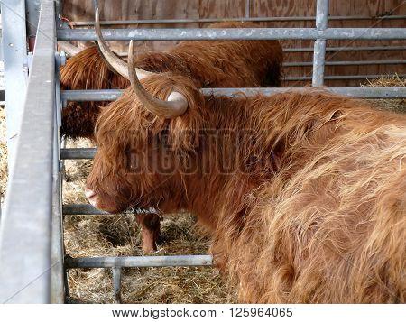 Side view of Scottish highlanders in barn