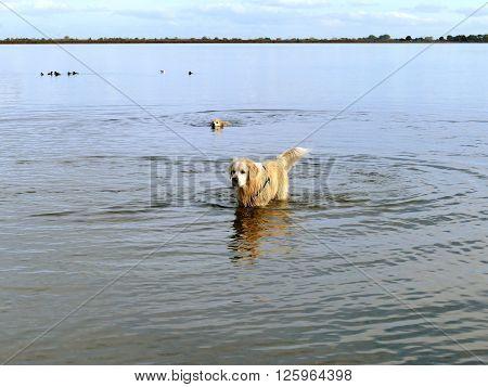 Labrador retriever in water making water circles