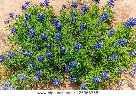 Overhead View Of A Cluster Of The Famous Texas Bluebonnet Wildflowers