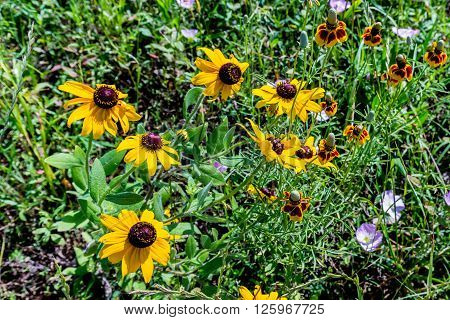 Various Colorful Texas Wildflowers