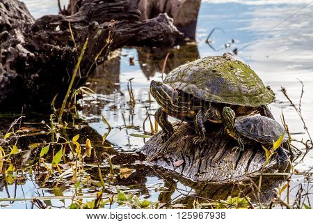 A Turtle At Brazos Bend Texas.