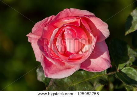 A rose flower of a wild plant with beautilful silky smooth petals ** Note: Soft Focus at 100%, best at smaller sizes