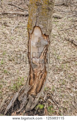 I see a rabbit with long eyelashes and a big yawn and a wolf when I look at the peeled areas of the tree. What do you see?