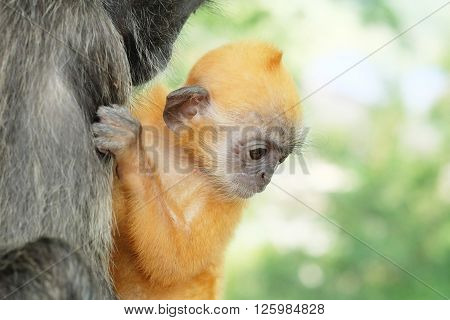 Portrait of a Young Silver Langur Monkey clinging onto its mother