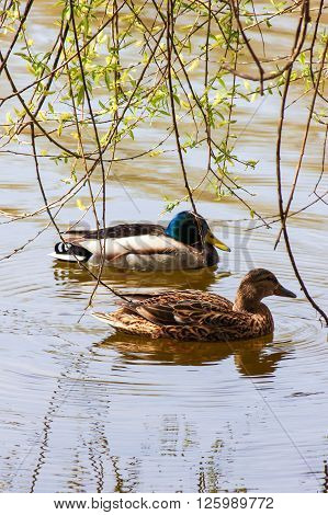 a pair of wild ducks on the pond