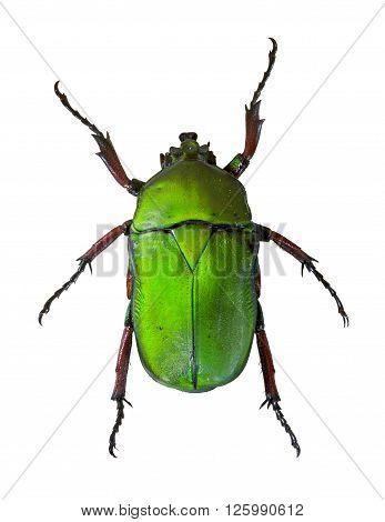 Trigonophorus Foveiceps