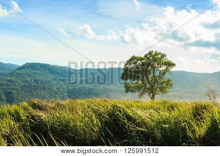 Tree and grassland at phu-lom-lo mountain , Loei , Thailand . where more than 100000 wild himalayan cherries .  Prunus cerasoides,  Sakura in Thailand