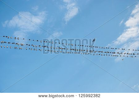 A flock of swallows preparing for the autumn migration Ukraine