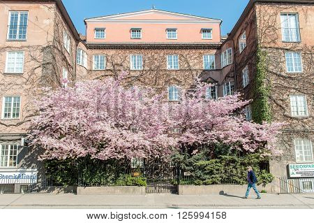 NORRKOPING, SWEDEN - APRIL 26: Spectacular blossoming cherry tree on April 26, 2009 in the center of Norrkoping. Springtime in Sweden is fresh and flowering with long bright days.