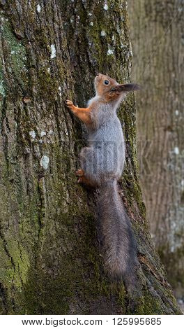 Squirrel lurking on a tree trunk. Photographed in spring Gatchina park near the palace of Emperor Paul I.